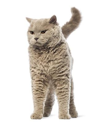 Кастрированные коты секс