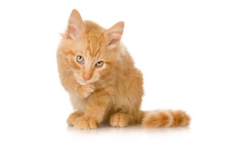 Кастрирование котов